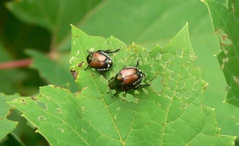 July 8-14-beetles-1024