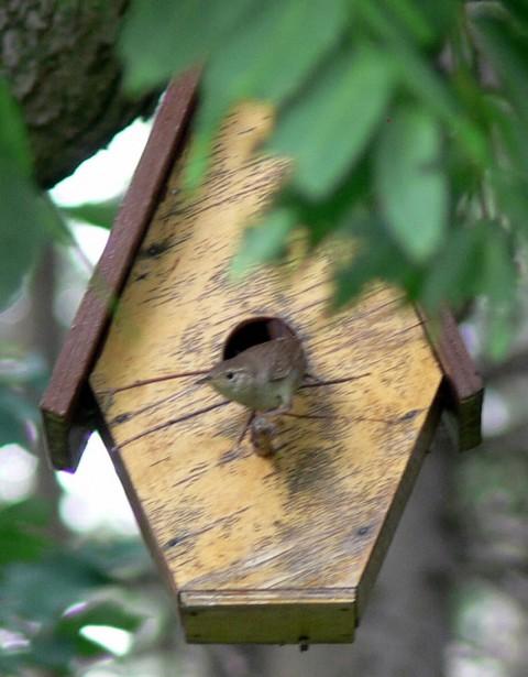 June 30-14-Wren emerges-1024- onto doorstep