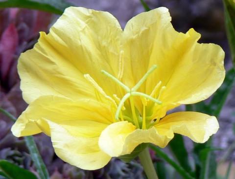 Aug. 2-14-ev.primrose close-up-1024