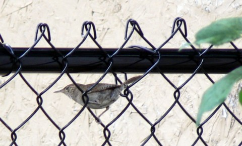 Aug. 2-14-wren in fence-1024