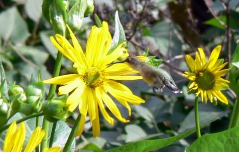 Aug. 3-14-hummer at sun-1024-flower
