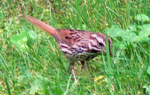 Aug. 3-14-w. thr.sparrow-size OK-on lawn