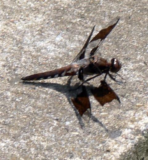 Aug. 4-14-dragonfly-size-OK