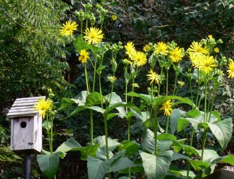 Aug. 8-14-PSFSunflowers
