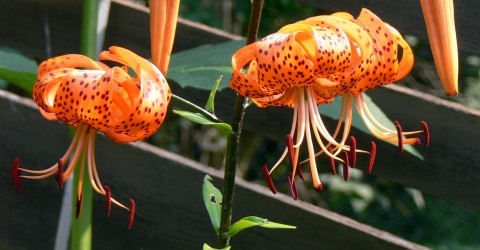 Aug. 8-14-tiger lilies-3