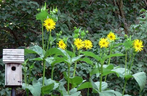 Aug.1-14-yellow daisies-1024