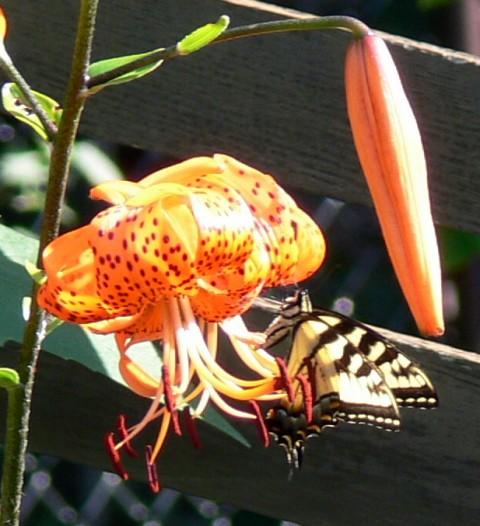 Aug.11-14-Yellow Swallowtail