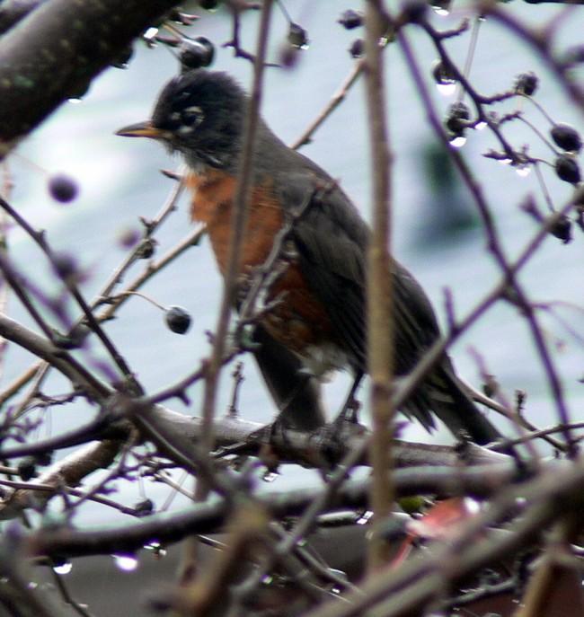 Robin in pear tree
