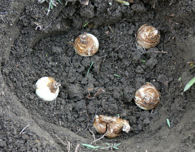 Narcissus bulbs in hole