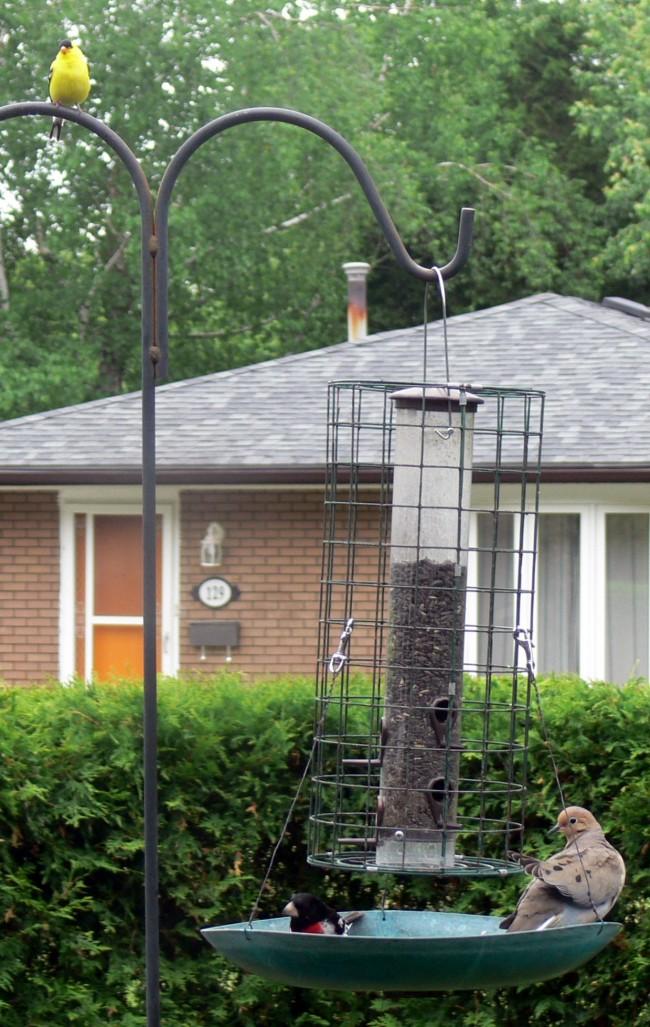 2016-06-13-Trio-gold finch, rose-breasted grosbeak, dove