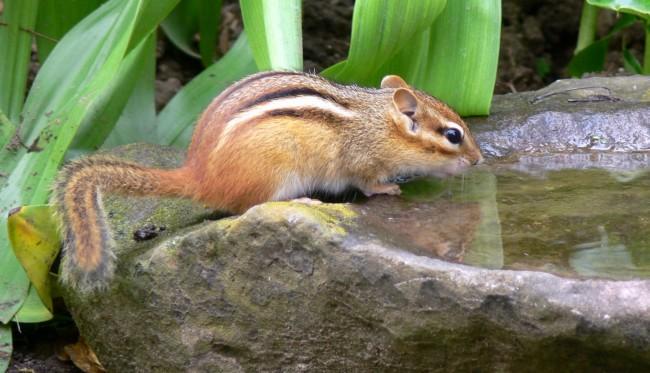 2016-06-20-chipmunk-3 drinks from rock basin